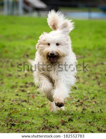 A Labradoodle cross-breed dog running towards the camera. - stock photo