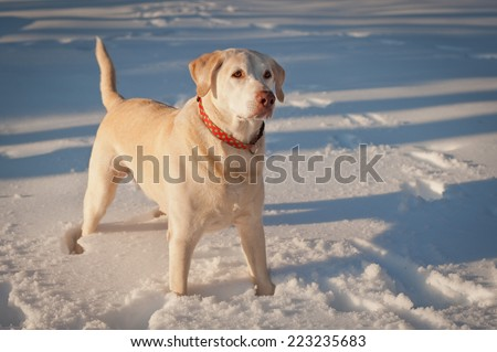 A labrador retriever stands at attention waiting for the ball to be thrown so he can jump in the snow and retrieve. - stock photo