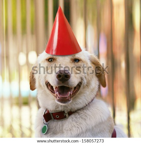 a labrador retriever with a party hat on - stock photo