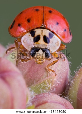 A lady bug is crawling over milkweed buds. - stock photo