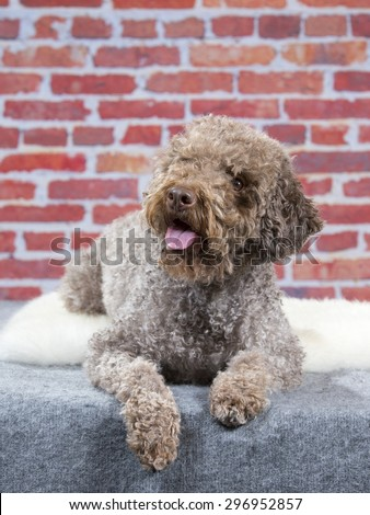 A lagotto romagnolo portrait. Image taken in a studio with a red brick wall as a background. The breed is also known as the truffle dog and the Italian waterdog. - stock photo