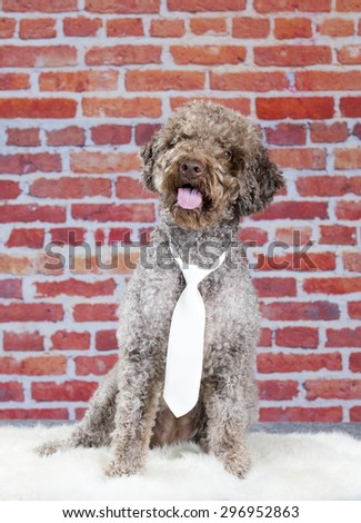A lagotto romagnolo portrait with a white tie. Image taken in a studio with a red brick wall as a background. The breed is also known as the truffle dog and the Italian waterdog. - stock photo