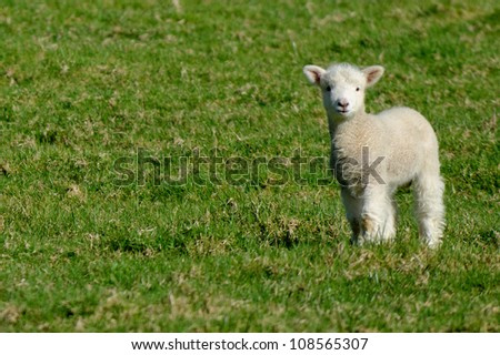 A lamb during spring in a sheep farm in New Zealand. - stock photo