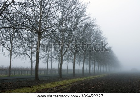 A landscape image of a road lined with trees crossing a vineyard in Rutherford in the Napa Valley in California during a foggy winter day. - stock photo