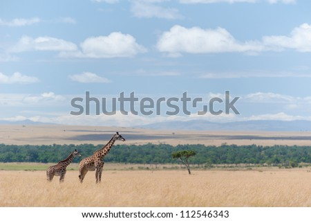 A landscape in the Masai Mara with two giraffe on the side. - stock photo
