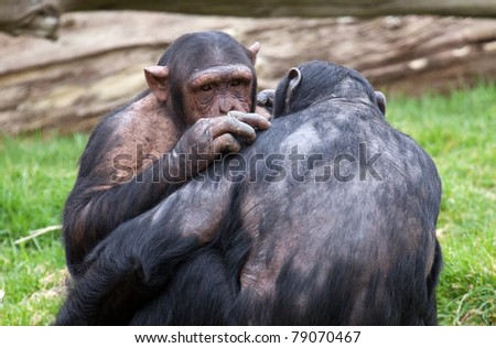 A landscape view of two Chimpanzees grooming each other - stock photo