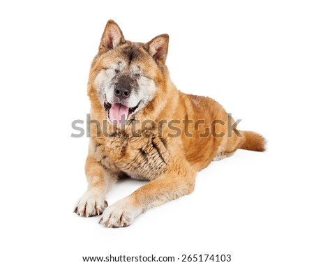 A large adult Akita breed dog that is blind with both eyes surgically removed laying on a white background - stock photo