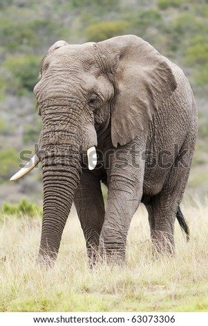 A large African Elephant bull stands in a open grassland feeding. - stock photo