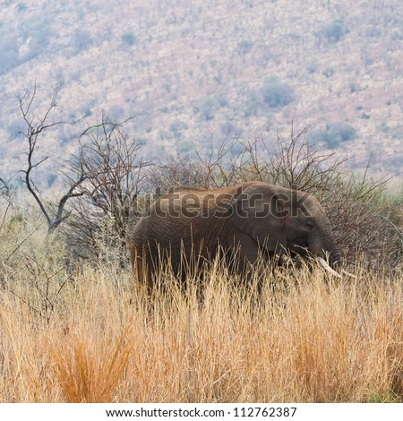 A large African Elephant walks amongst the long grass of Pilanesberg National Park, South Africa. - stock photo