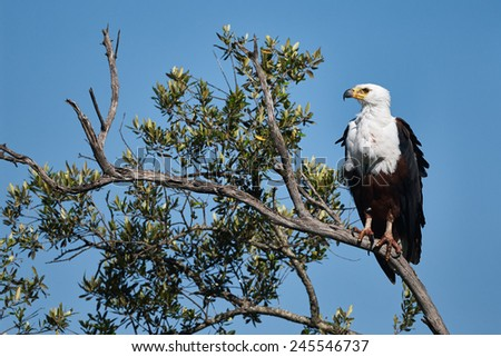 A large African Fish Eagle perched on a branch - stock photo