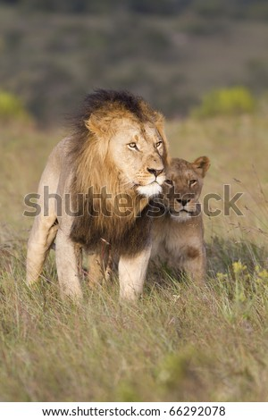 A large African lion and lioness share a close touch. - stock photo