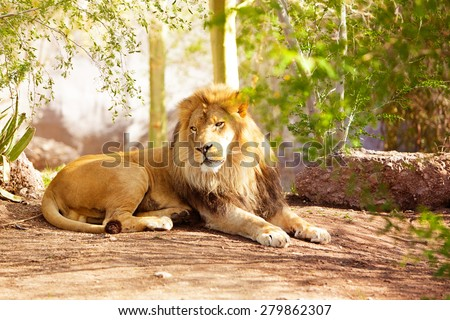 A large African Lion laying down on the ground in a jungle setting - stock photo
