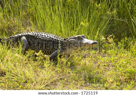 A large alligator makes its way through the grass along the banks of a swamp in Florida on a warm summer day. - stock photo