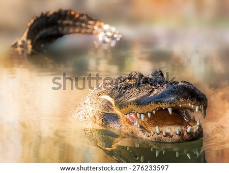 A large alligator swimming in a lake with his tail and head showing and mouth open wide - stock photo