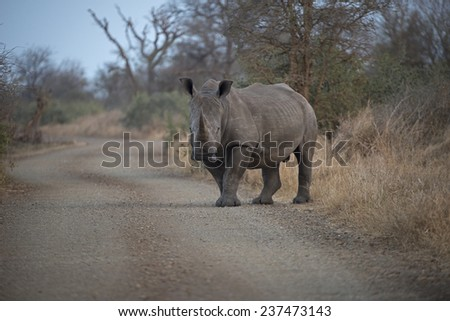 A large and endangered Rhino steps into the road - stock photo