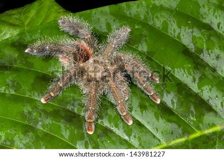 A large and hairy Tarantula on a green leaf in rainforest, ecuador - stock photo