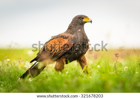 A large bird of prey Harris's Hawk is on the ground in the wild, the pretty flowering meadow full of wildflowers - stock photo
