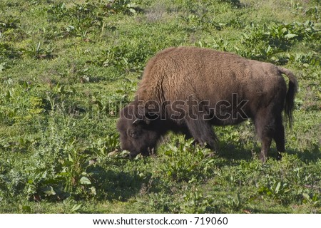 A large bison feeds on grassland. - stock photo