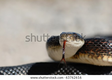 A large black ratsnake sticking his tongue out with a light grey background. - stock photo