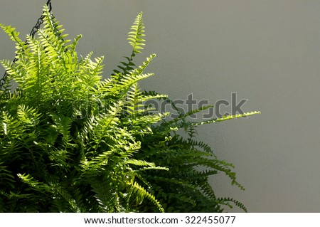 A Large Boston Fern plant hanging from a chain in front of a white wall in partial sunshine. - stock photo