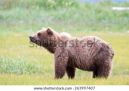 A large brown bear full body profile shot, head up scenting - stock photo