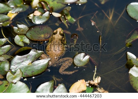 A large brown frog hiding and waiting for prey on a lotus flower on a small lake - stock photo