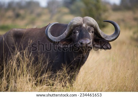 A large buffalo bull in the Kruger National Park, South Africa. - stock photo
