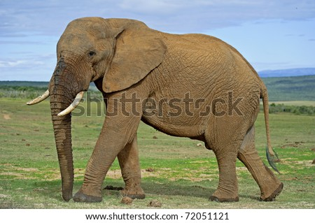 A large Bull Elephant circles the photographer - stock photo