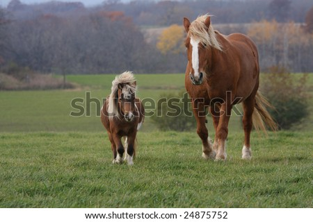 A large Clydesdale horse and a small Shetland pony running across a pasture together in the autumn. - stock photo