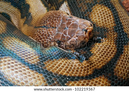 A large coiled up python - stock photo