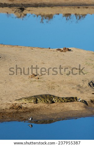 A large crocodile resting in the sun on a sand bank - stock photo