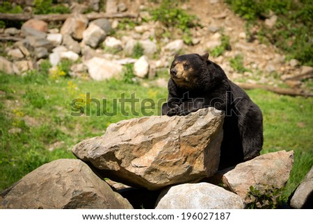 A large Eastern American black bear (Ursus americanus) rests itself on a pile of rocky boulders. - stock photo
