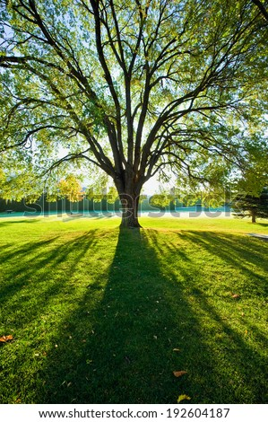 A large elm tree back lit by the sun with bright green grass - stock photo
