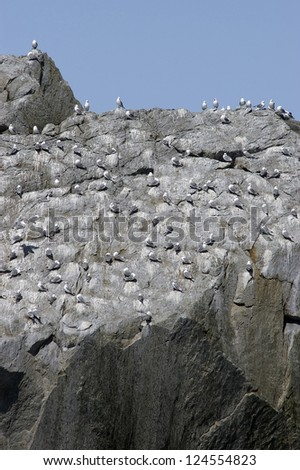 A large flock of gulls in Alaska roosting on a rock face - stock photo