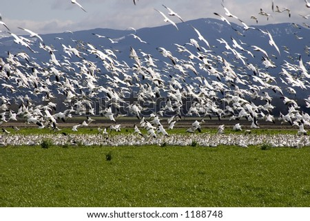 A large flock of snow geese take off from a field in the Skagit Valley in Washington State - stock photo