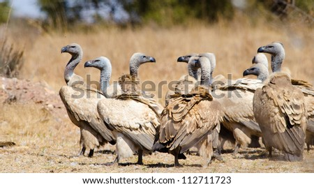 A large gathering of Cape Vultures on the ground - stock photo