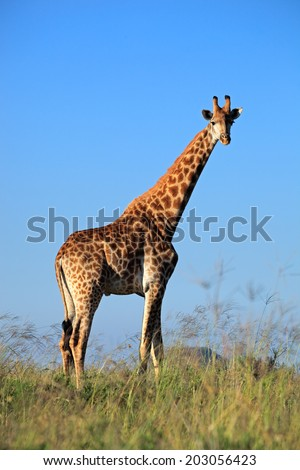A large giraffe bull (Giraffa camelopardalis) against a blue sky, South Africa - stock photo
