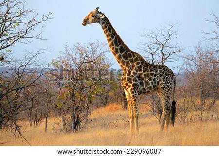 A large giraffe (Giraffa camelopardalis), Kruger National Park, South Africa - stock photo