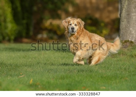 A large Golden Retriever dog running on grass and looking directly at the camera. - stock photo