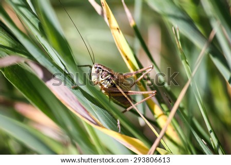 A large grasshopper sits on a blade of grass on. Macro - stock photo