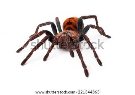 A large Greenbottle Blue Tarantula spider with an orange color body isolated on a white background - stock photo