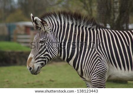 A Large Grevy's Zebra - Equus grevyi - stock photo