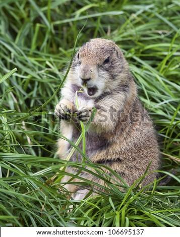 A large groundhog sitting up while eating - stock photo