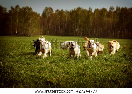A large group of dogs Golden retrievers running in the summer through the green valley - stock photo