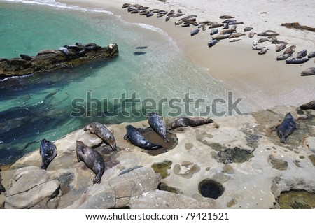 A large group of harbor seals gather to sun themselves at Children's Pool beach in La Jolla, California. - stock photo