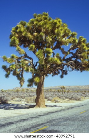 A large Joshua Tree in the Southern California desert. - stock photo