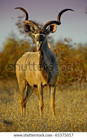 A Large Kudu Bull out in the early evening - stock photo