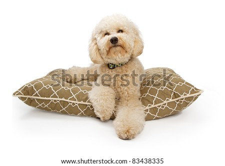 A large Labradoodle Dog sitting on a luxury dog bed. Contains a clipping path for easy extraction. Some cleanup may need to be done around loose strands of fur. - stock photo