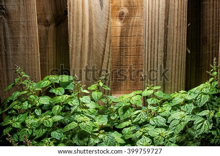A large lush green patchouli (Pogostemon cablin) plant with small red flowers against a wooden fence.  - stock photo