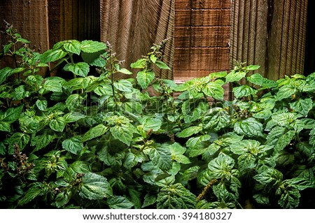 A large lush green patchouly (Pogostemon cablin) plant with small red flowers against a wooden fence. - stock photo